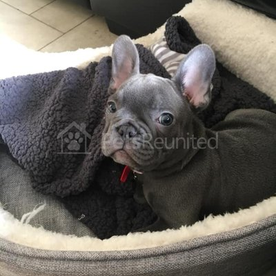 Stolen Dog Blue Grey French Bulldog Dog Called Stanley East