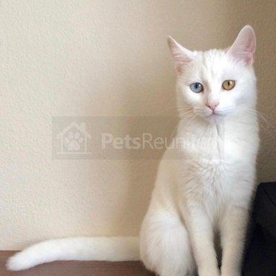 15c9318152 LOST CAT  Odd-Eyed White Angora (Turkish Angora) cat called Freya - Ilford  area