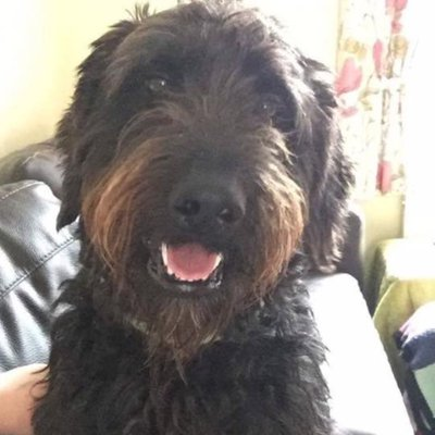 Lost dog: Black Labradoodle dog called Boris - Wisbech area