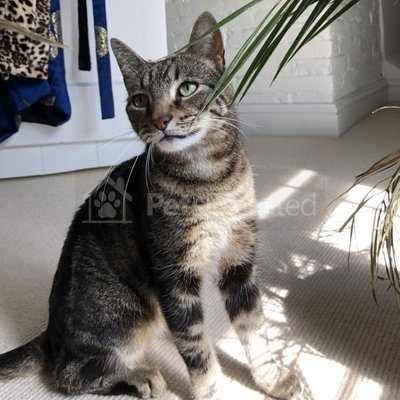 Lost cat: Bengal cross with grey & black tabby markings cat called