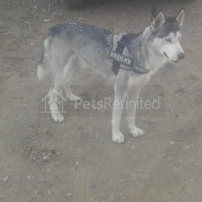 Lost Dog Grey Siberian Husky Dog Name Witheld Wakefield Area